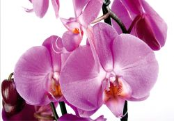 Pink Orchid. FTS 0049