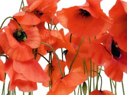 Red Poppies . FTS 0479